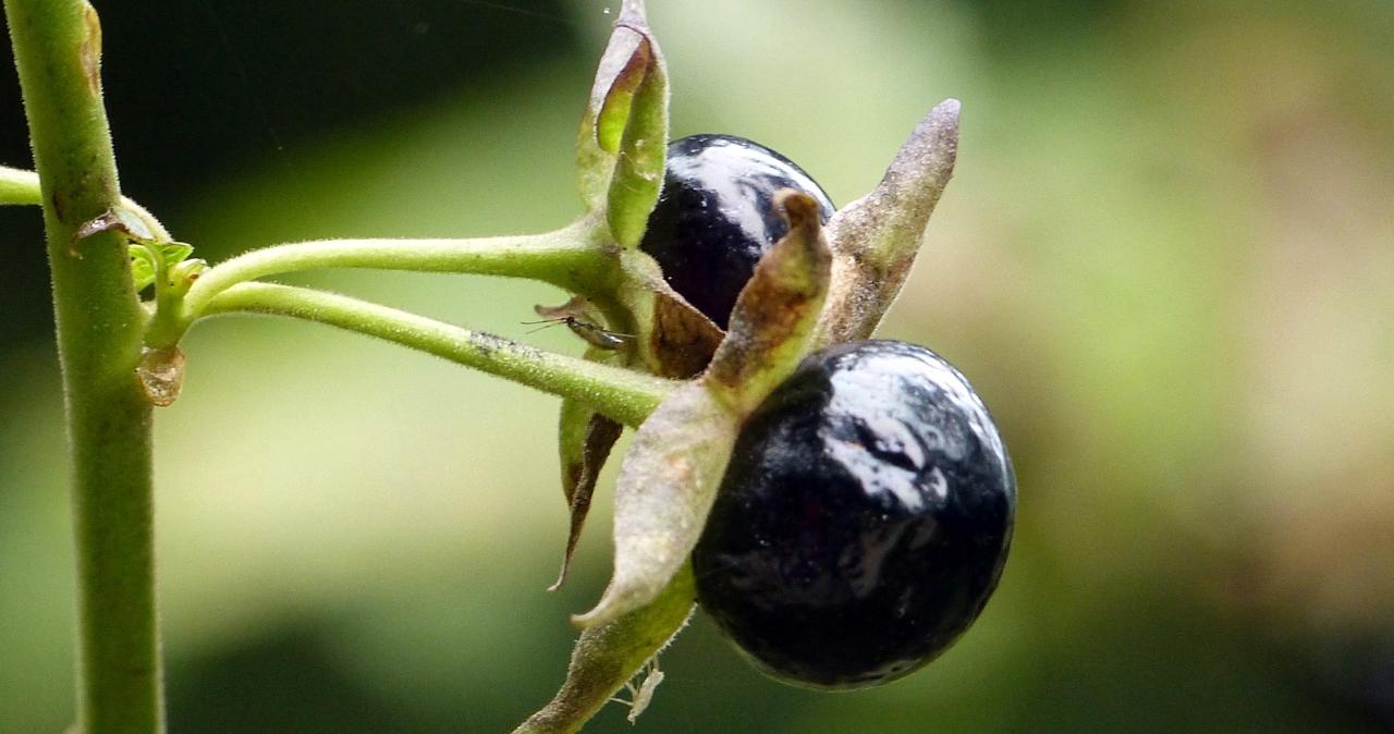 Будьте начеку: смертельно ядовитые растения Украины