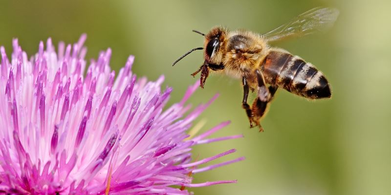 Это интересно: ученые обнаружили «левшей» и «правшей» среди пчел