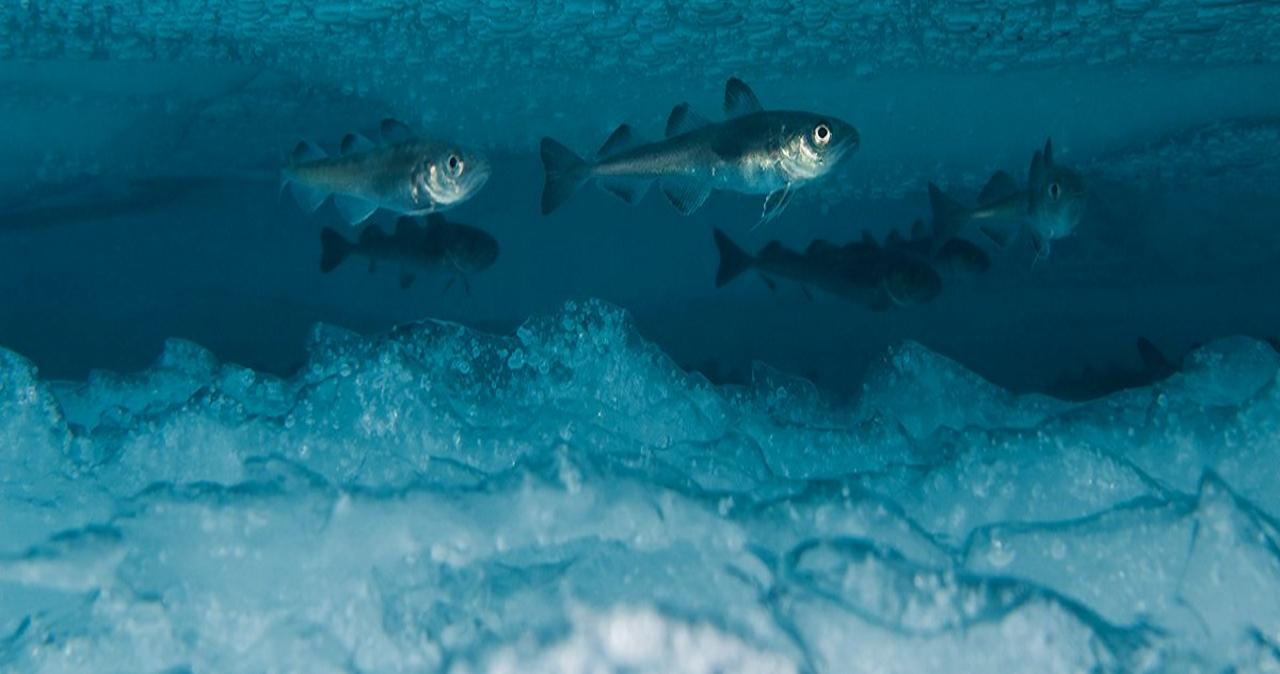 Зимовка рыб. Как переживают холода водные позвоночные?