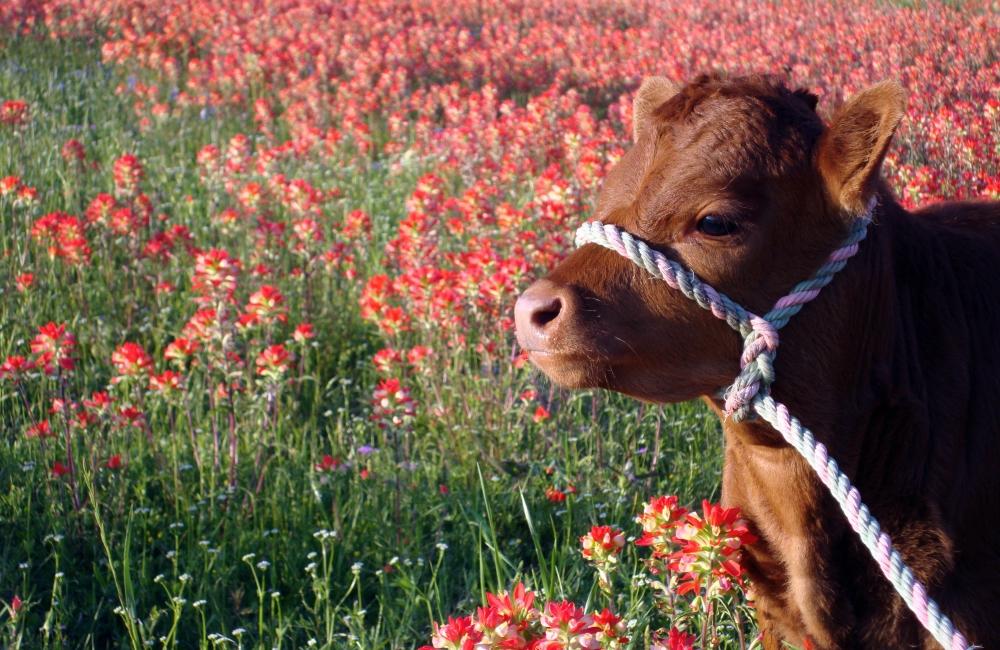 Мини-корова Декстер: обзор породы