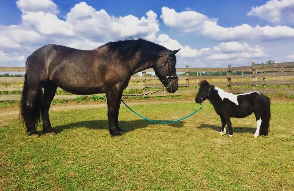 Фалабеллы – самые маленькие лошади в мире