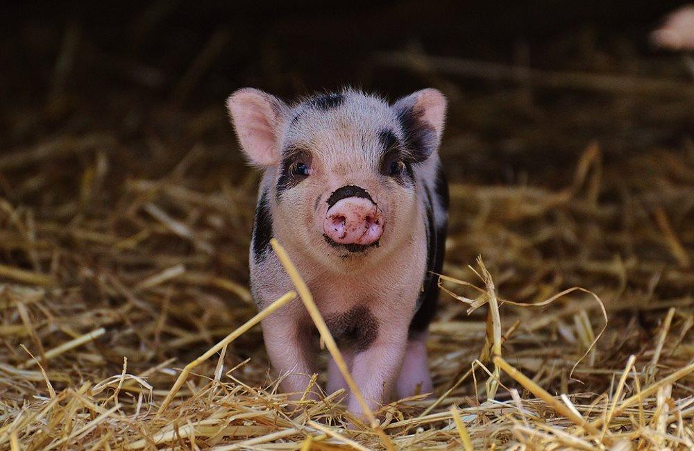 Поговорим о мини-животных. Карликовые свинки мини-пиги