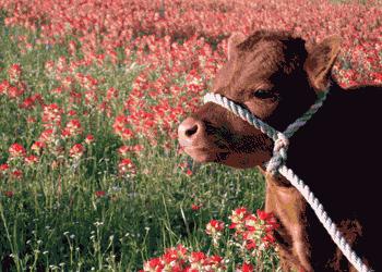 Міні-корова Декстер: огляд породи