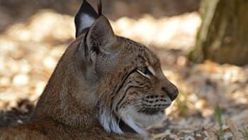 The Lynxes Enclosure