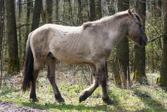 Польські коники